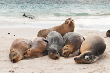 Basking Galapagos Sea Lions sleeping on a beach