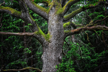 Detail of majestic oak tree in a dark forest