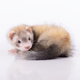 small animal rodent poster