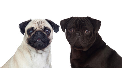 Nice couple of pug carlino dogs