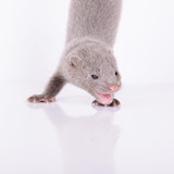 small gray mink