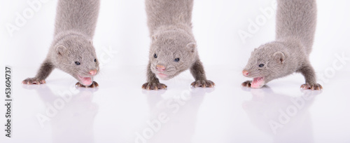 threel gray mink