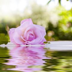 flor de la rosa  con reflejo