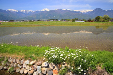 Rice field and Marguerite in Azumino city, Nagano, Japan
