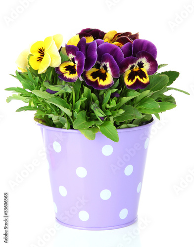 Tuinposter Pansies Beautiful pansies flowers isolated on a white