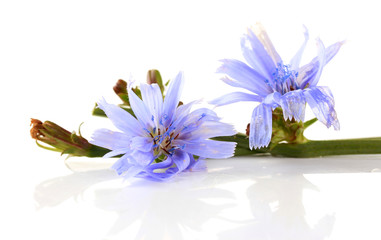 Chicory flowers, isolated on white