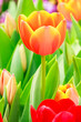 orange and red tulip