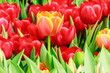 orange and red tulip