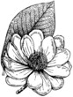 canvas print picture - Plant Magnolia campbellii (Campbell's Magnolia)