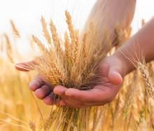 młody rolnik w polu pszenicy