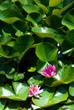 Pink water lily and big green leaves