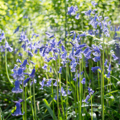 Bluebell flowers in light