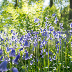 Bluebell flowers in forest, with fresh fern leaves.