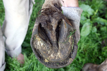 Deformed horse's hooves before cleaning the natural method