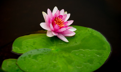 isolated water lily on black ground