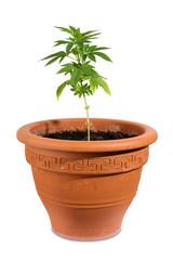 Cannabis_im_Topf
