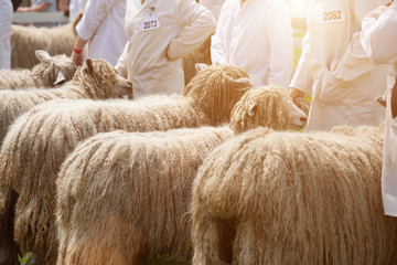county fair sheep