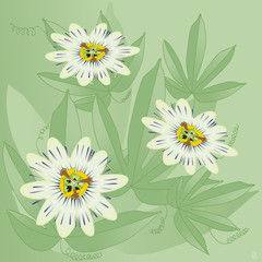 passiflore ou passiflora caerulea