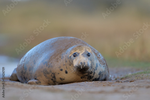 Grey Seal lying on ground.