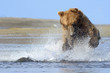 Grizzly Bear jumping on fish