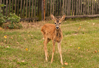 Small doe in the paddock