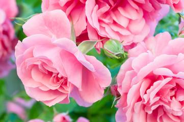 Rosa Kletterrose in voller Blütenpracht