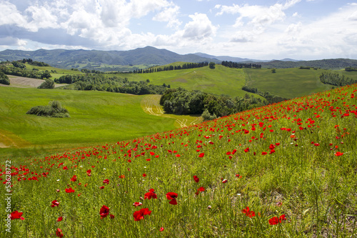 Fototapeta spring in Tuscany, landscape with poppies