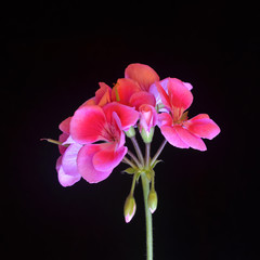 geranium flower isolated on black