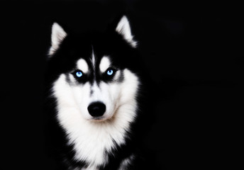 Close up on blue eyes of a dog Siberian husky