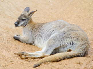 Wallaby relaxing