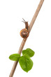 Garden snail on a branch, isolated on white