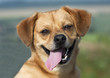 Funny dog smiling