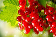 Redcurrant. Ripe and Fresh Organic Red Currant Berries Growing