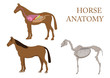 zoology, anatomy of horse, cross-section and skeleton