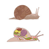 zoology, anatomy, morphology, cross-section of snail poster