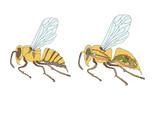 zoology, anatomy, morphology, cross-section of bee poster