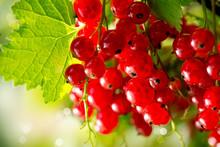 Czerwona porzeczka. Dojrzałe i świeżych organicznych jagód czerwonej porzeczki Growing