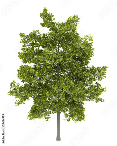 common lime tree isolated on white background