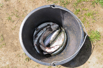 Bucket with freshly caught fish