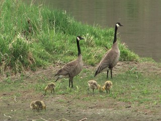 Canadian geese with gosling