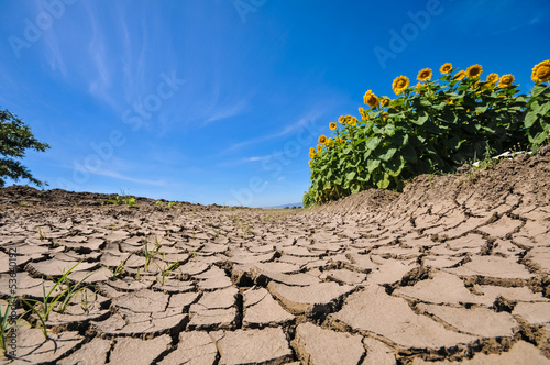 Fotobehang Droogte Cracked dry earth next to a sunflower field