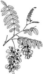 Branch of Plant Robinia pseudoacacia (Black Locust)