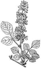 Branch of Plant Desmodium spicatum