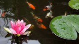 Koi Fish in Garden Pond with Pink Water Lily Flower 1080p