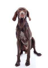 German Shorthaired Pointer Kurzhaar looking at camera. isolated