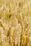 This is a  wheat field  background