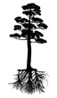 isolated black pine with root