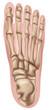 Постер, плакат: Human Foot