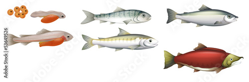 Life Cycle of Salmons