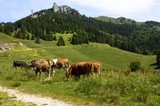 herd of cows on mountain pasture